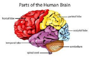 Photo of Parts of the human brain