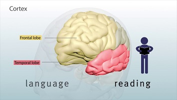 The brain and the language