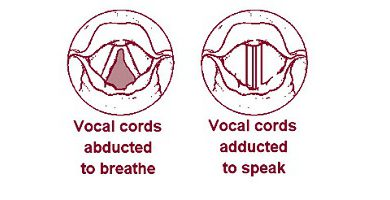 Photo of Vocal cords and its detailed description